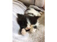 Pedigree Persian boy kitten
