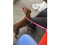 6 month old staff needs rehoming Now