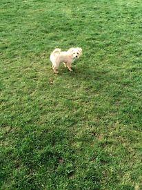 Shih tzu cross jack a poodle Puppie