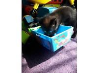 3 black kittens ready now