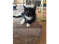 9week old kitten £20