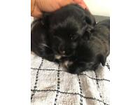 Jack russell X West Highland Terrier Puppies