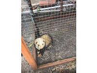 Two hob ferrets for sale large hutches included can be sold separate