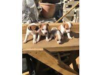 Only 3 left Plummer terrier x Jack Russell terrier puppies