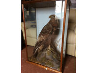 c1900 Scottish Golden Eagle Taxidermy Mcleay Inverness, pre 1947 Cites, Superb Condition