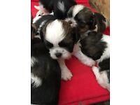 KC registered Shih Tzu pups