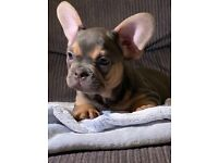 Blue/Tan french bulldog puppies