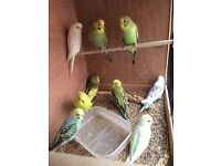 Beautiful Best Quality Baby Budgies from 8 to 9 weeks old and 3 new unused cage