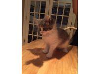 Maine coon X ragdoll kitten
