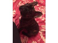 French bulldog female 16 weeks