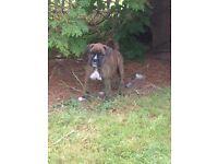 Boxer puppy male