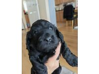 Beautiful F2 Cockapoo boy and girl available