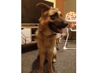 14 month old GSD male