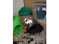 Male Rabbits Free to good homes