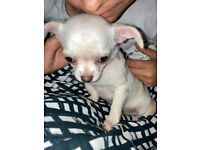 1 Stunning Pure White Full Breed Chihuahua Left!