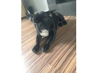 Blue gene KC Reg French bulldog puppy