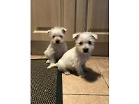 West highland puppies - westie