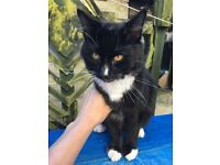Found black long haired cat with 4 white paws & bib on neck, bushy tail. Staying in my garden 04/04
