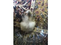 Baby Syrian Hamsters ONLY TWO LEFT £8 each