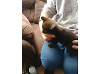Lovely female maincoon x kitten price reduced ready now