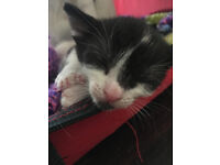 Black and white, Male 8 week old kitten. *LAST ONE, NEED TO REHOME QUICKLY*