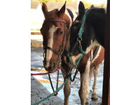 Horses - Sale /Full Loan/Part Loan
