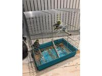 6 Budgies with cage for sale