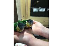 Hand tamed baby black headed caique .Little parrot.