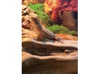 Red bearded dragon female and setup
