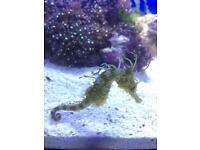 Seahorses. Hippocampus Erectus
