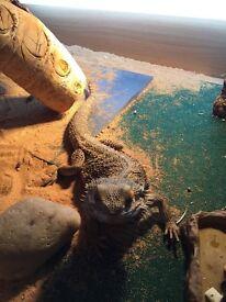 Bearded dragon and 4ft vivarium set up