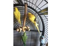 Indian ringneck parrot.