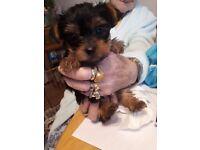 Toy yorkshire terrier puppy