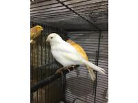 Female White canary for sale