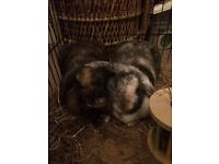 2 Beautiful Male and Female French Dwarf Lop Rabbits (2 years old) with extras