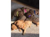 Beautiful solid red f1 cavapoo puppies