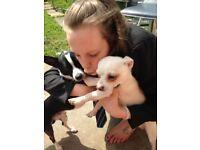 White Chihuahua pup