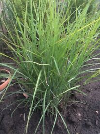 Zebra Grasses