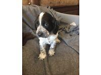 Last F2 cockerpoo puppy (girl)