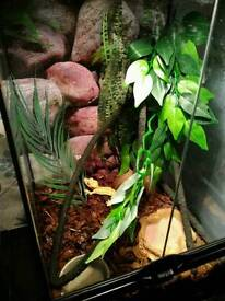 Crested geko