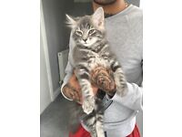 Two 4 Month old kittens for sale