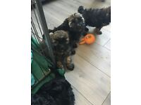 Shihtzu cross poodle puppies (shihpoo)