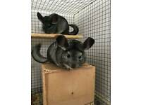 Chinchillas for sale