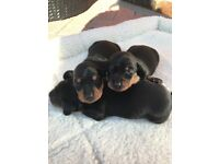 Miniature Black and Tan dachshund puppie for sale