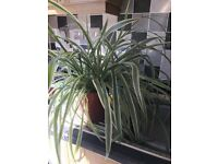 FREE - spider plant
