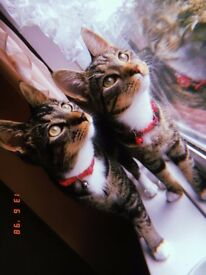 2 female kittens for sale