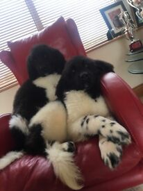 One male Newfoundland pup left