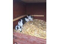 English baby rabbits