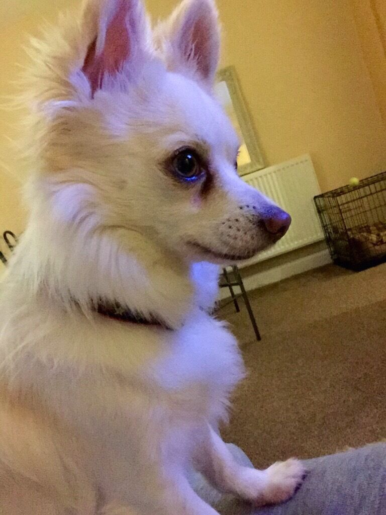 Gorgeous White Fluffy Chihuahua In Plymouth Devon Gumtree