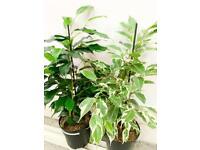 Ficus House Plant